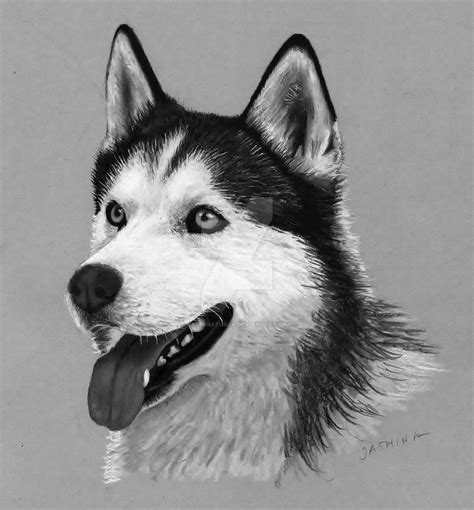 how to a husky pencil drawing siberian husky by jasminasusak on deviantart