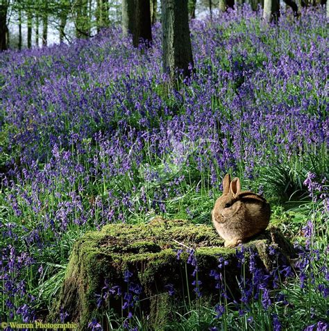 rabbit in woodworking bluebell wood rabbit oryctolagus cuniculus