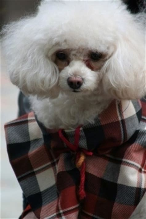 teacup poodle lifespan teacup poodle breed information and pictures