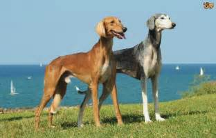 Breed And Co Saluki Breed Information Buying Advice Photos And