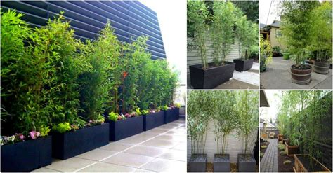 Planting Bamboo In Planters by Useful Tips For Growing Bamboo Plants In Pots