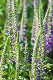 Silver Grey Foliage Plants - the city of calgary yardsmart annuals and perennials