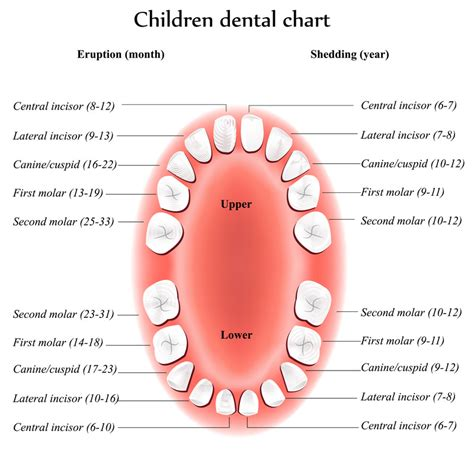 teeth map how a baby teeth chart helps you survive the terrible