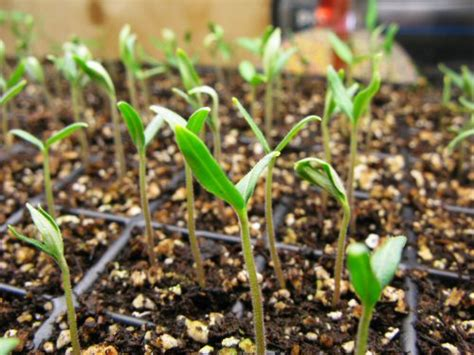 tomato casual 187 tc reader question tomato seedlings and light