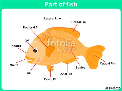 Stelan Gold Fish Kid quot leaning parts of fish for worksheet quot stock image and royalty free vector files on