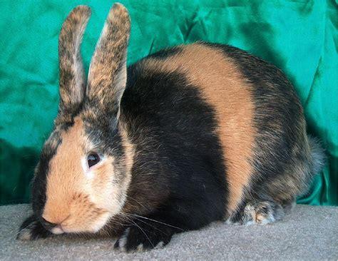 rabbit colors rabbit in the web rabbit coat color