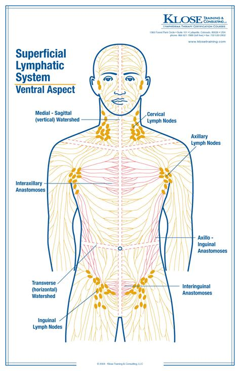 lymph nodes groin diagram lymph nodes in the groin diagram anatomy organ