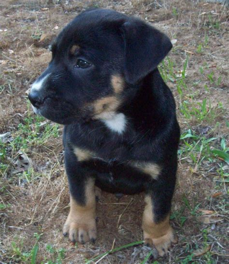 rottweiler pitbull mastiff mix rottweiler and blue nose pitbull mix www imgkid the image kid has it