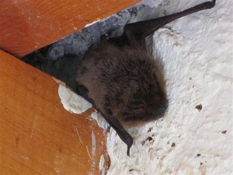 vleermuis in huis vleermuis in huis animals today