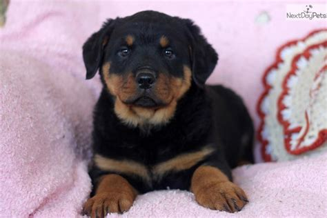 puppy rottweiler for sale near me rottweiler puppy for sale near lancaster pennsylvania ed12c6f3 5061