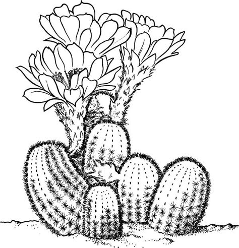 cactus flower coloring page lobivia famatimensis cactus coloring pages best place to
