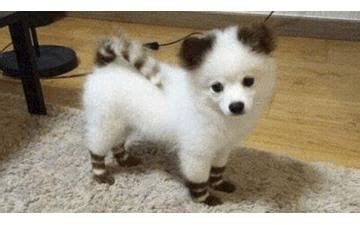 how big does a pomeranian get 18 best pomskies images on pomsky puppies animals and huskies puppies