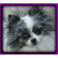pomeranian breeders in northern california pomeranian breeders in california page 1 freedoglistings
