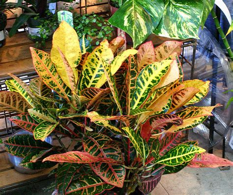 foliage plant care fafardcontainer gardening fafard