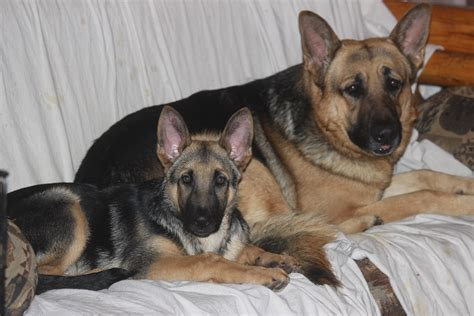 free puppies nj german shepherd puppies for sale