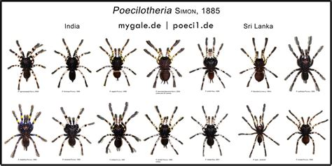 Organze by Poecilotheria Metallica Theraphosidae