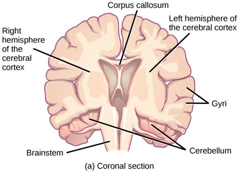 coronal section of human brain the central nervous system voer