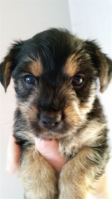 yorkie cross puppies yorkie cross puppies 250 posted 2 months ago for sale dogs mixed