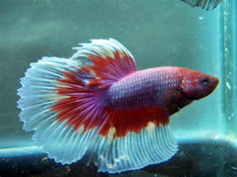 Rak Untuk Ikan Cupang ini dia nama ikan hias di aquarium yang tidak gang mati