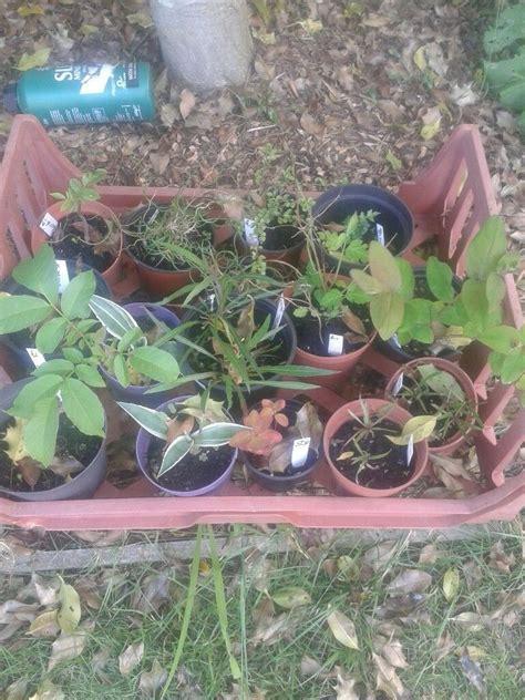 plants joblot   pots walnut tree   norwich