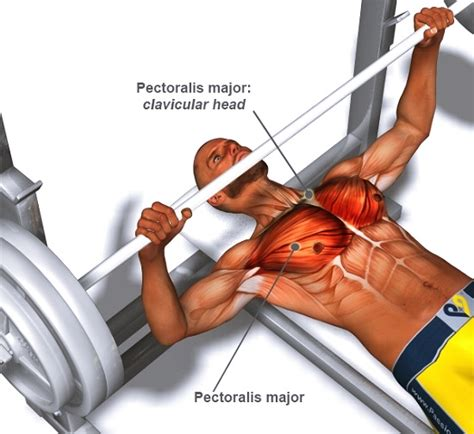 bench press muscles a guide to perfect barbell bench press technique for stubborn chest muscles