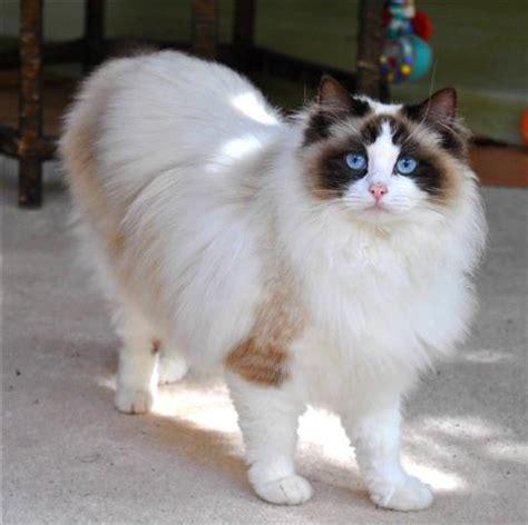 ragdoll cat breed ragdoll cat breed cat pictures information