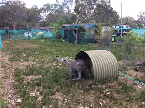 Detox Unit Nsw by Reports On Rehabilitate Wallabies Other Wildlife