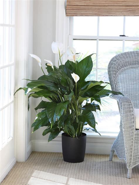 plants that do well indoors low pollen houseplants hgtv