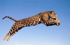 Running Jaguar 22 Best Images About Jason S Jaguar On Zoos
