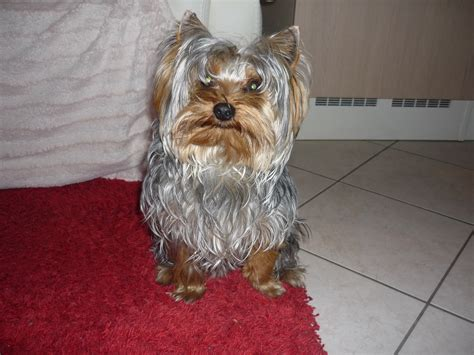 Yorkshire Terrier Pictures on Animal Picture Society