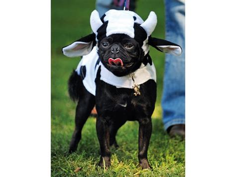 pug in a pug costume photos of pugs in costumes reader s digest