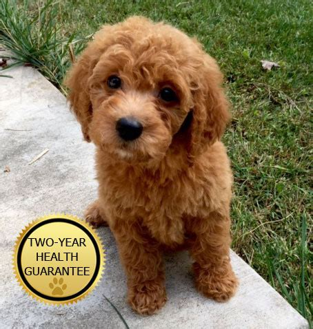 mini doodle michigan goldendoodle puppies in michigan by view