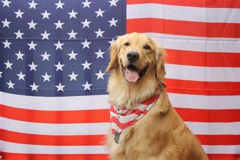 patriotic golden retriever these patriotic golden retrievers will make you america again whiskey riff