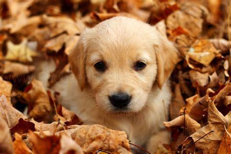 golden retriever puppies ottawa golden retriever puppies focused rebel