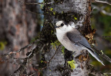 bird is the word this winter northeastern ontario canada