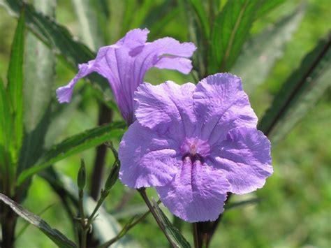 petunia fiore ruellia petunia deserto