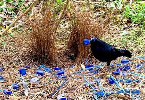 bird decorating its nest with garbage animals pinterest