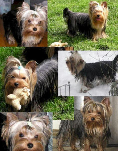 yorkies for sale in laredo tx teacup yorkies in brownsville breeds picture