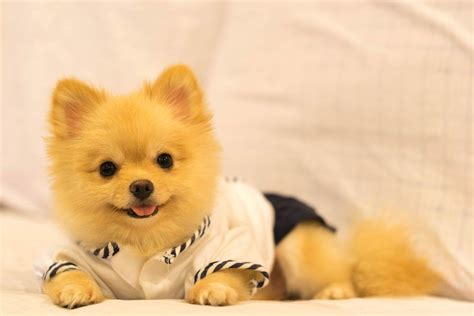 what do pomeranians like yellow pomeranian www pixshark images galleries with a bite
