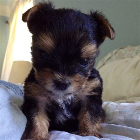 raising yorkies our 5 week yorkie cer we been raising him since he was 3 days he is