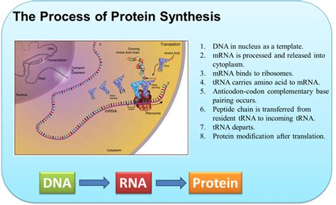 7 protein synthesis protein synthesis creative biostructure
