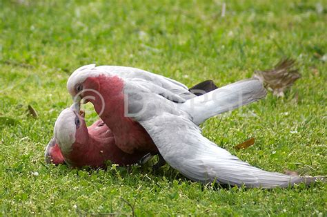 birds mating www imgkid com the image kid has it
