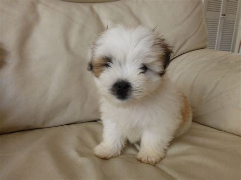 lhasa apso puppies for adoption lhasa apso puppy for sale blackpool lancashire pets4homes