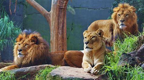 imagenes full hd de leones familia de leones full hd en fondos 1080
