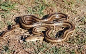 Florida Backyard Snakes Snakes Florida Backyard Snake North Port Florida