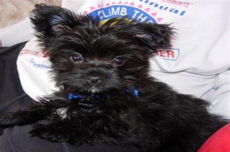 black yorkie puppy 7 types of adorable yorkie puppies 187 teacupdogdaily
