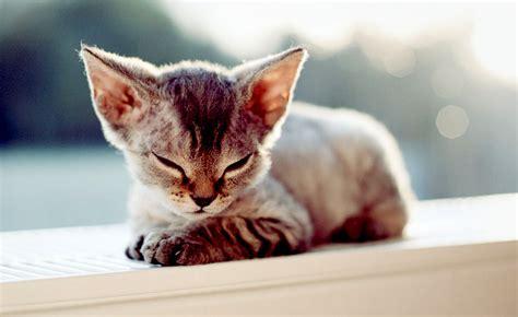 what breed is best for me quiz breed finder quiz what cat or is right for me upcomingcarshq