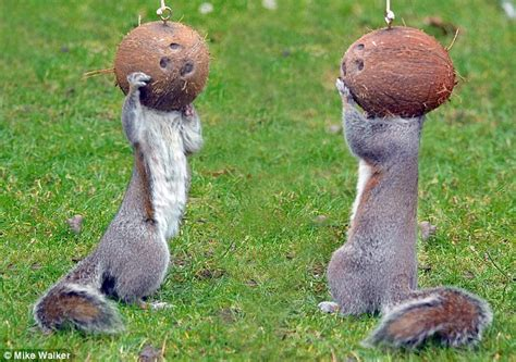 the squirrels who love to get stuck into coconuts daily