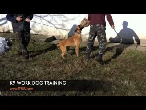 belgian malinois police dog protection training attack