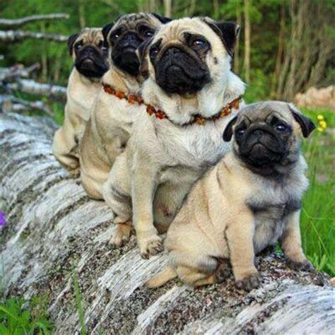 pug status emergency pugs on quot omg http t co txv181mv6w quot